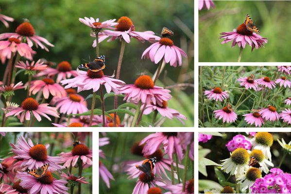 Papillons-sur-Echinacea.jpg