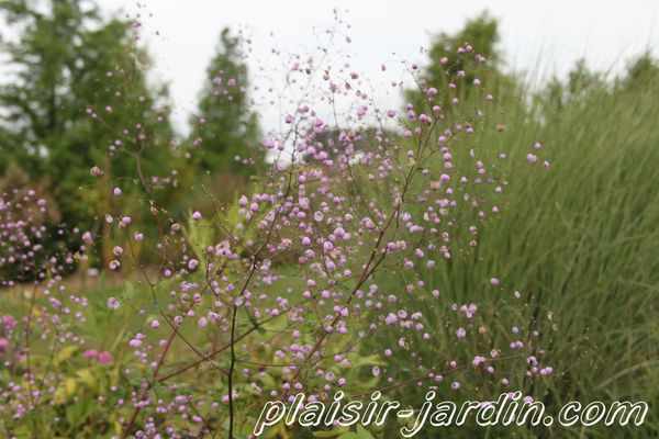 Thalictrum-splendide.jpg