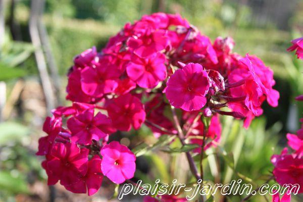 Phlox-paniculata-Adessa-red.jpg