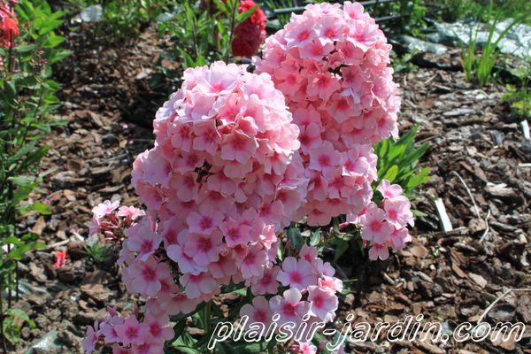 phlox-paniculata-adessa--pink-eye-.jpg
