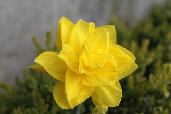 narcisse-golden-ducat.JPG