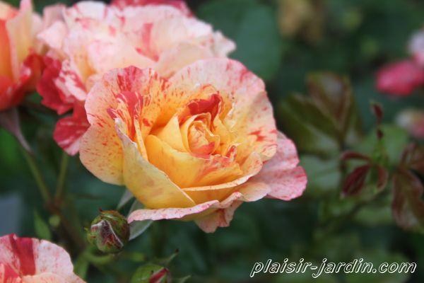 rosier-alfred-sisley.jpg