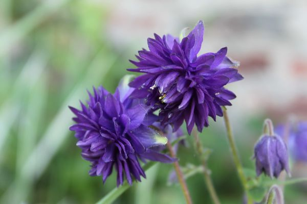 Aquilegia-vulgaris--Blue-barlow-.jpg