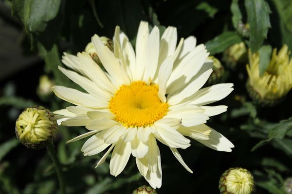 Leucanthemum--Broadway-lights---2-.jpg