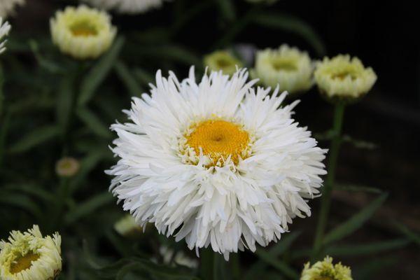 Leucanthemum-aglaia.jpg