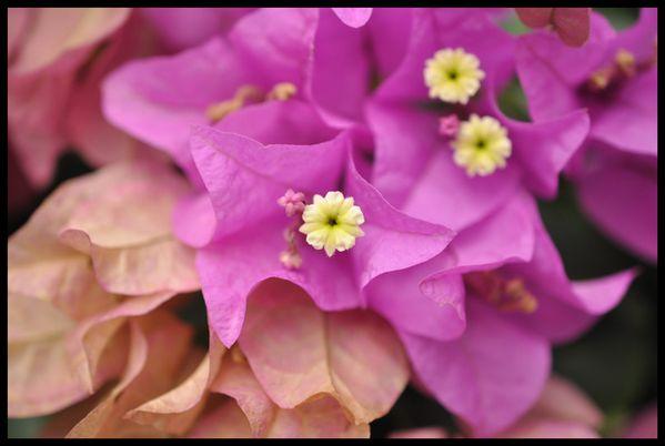 bougainvillier florence dellerie