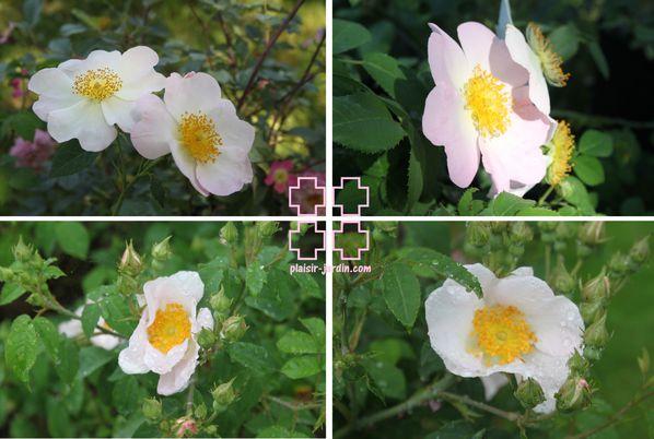 Rosa-gallica-macrantha.jpg