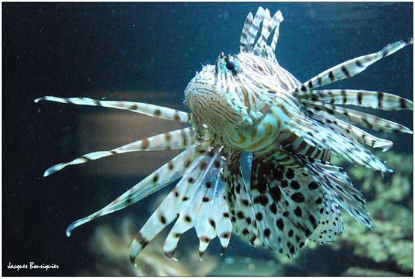 poisson lion Pterois nausicaa