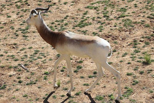gazelle dama 2