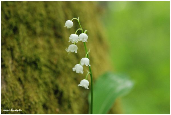 muguet blanc foret chantilly 1