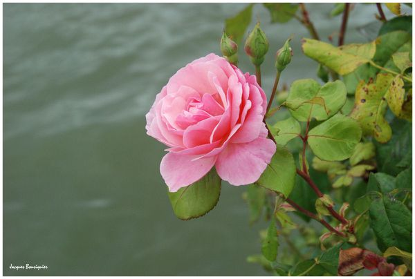 Rose de Picardie Longueil Annel