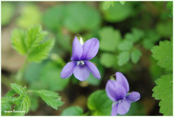 Violettes Chantilly foret 2