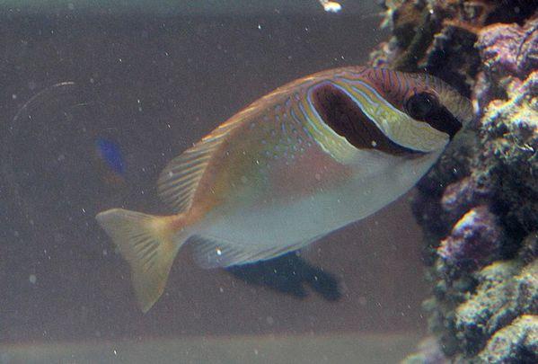 poisson renard à tête barrée (2)