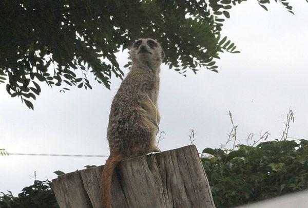 suricate (5)
