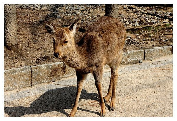 cerf sika (10)