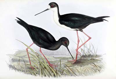Gould Birds of New Guinea vol 6 pl 25 New Zealand Stilt