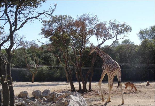 girafe-zoo-de-montpellier.jpg