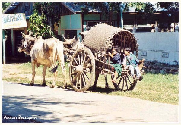 Birmanie Mingoun attelage deux boeufs