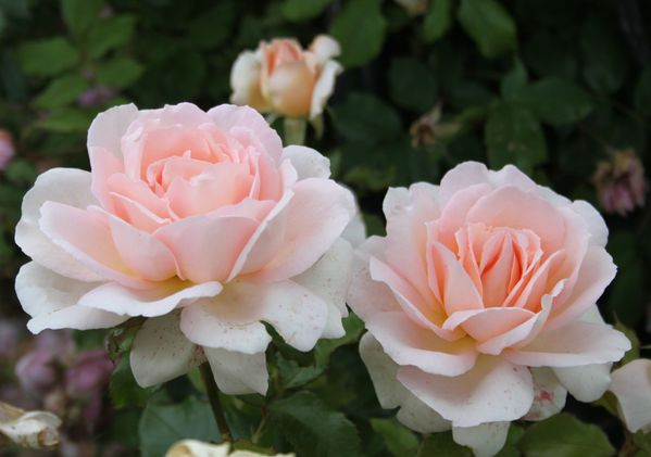 Le rosier 'Sweet Love' (= 'Chandos Love')