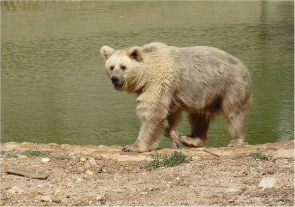 ours-baignade-zoo-montpellier.jpg