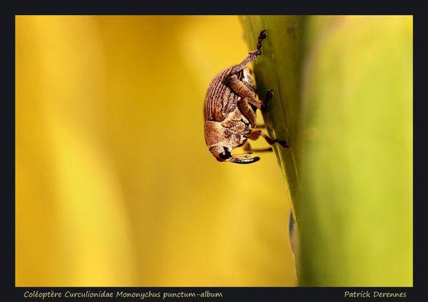 pot-pourri-7-5647Mononychus-punctum-.jpg