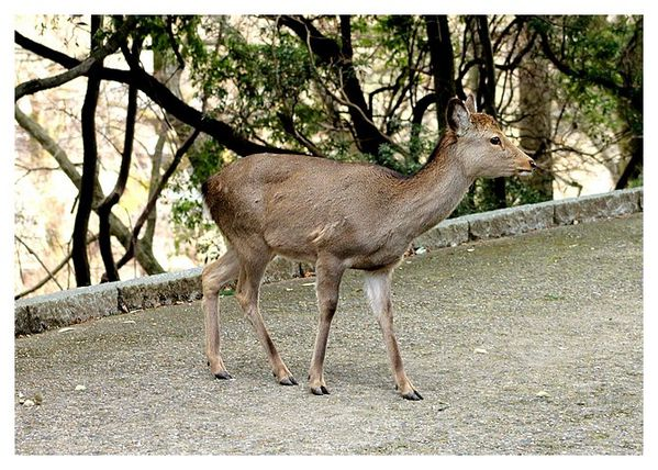 cerf sika (7)