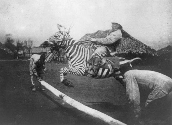 Zebra-tame-jumping