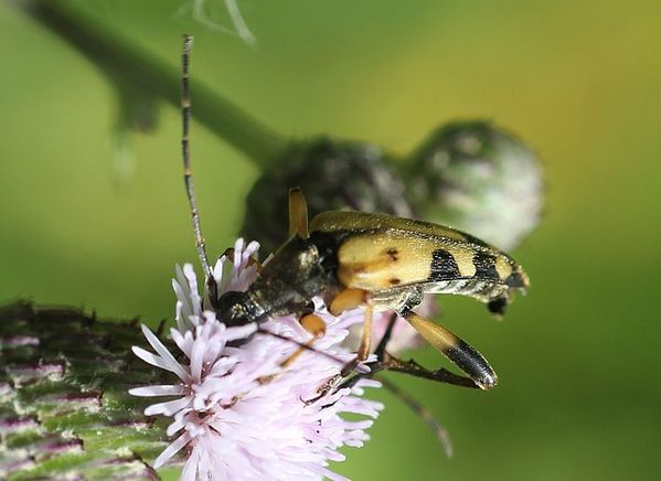 leptura maculata 3