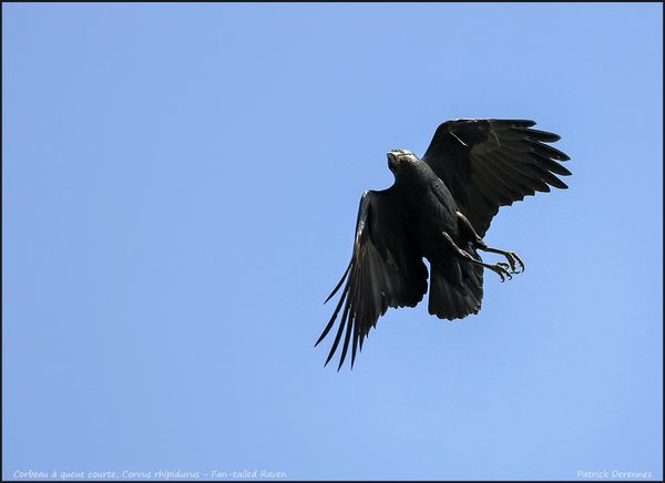 OT3A5996fantailed-raven900C.jpg