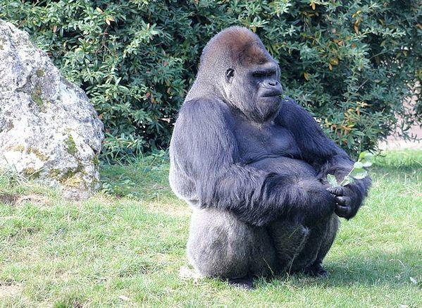 gorille des plaines de l'ouest (3)