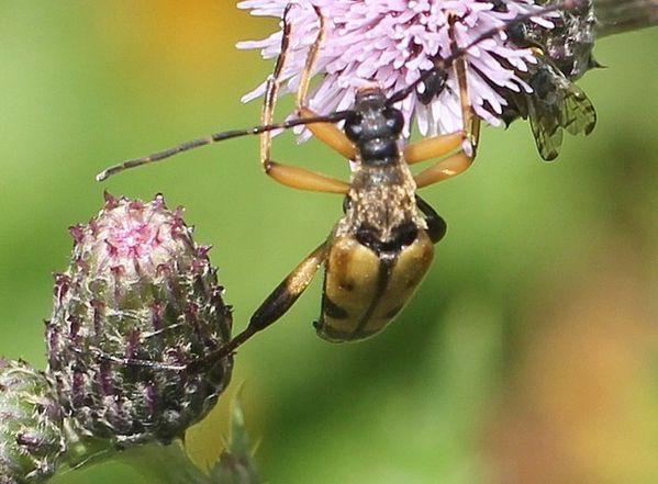 leptura maculata 5