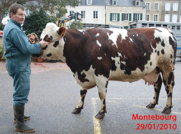 vaches-050