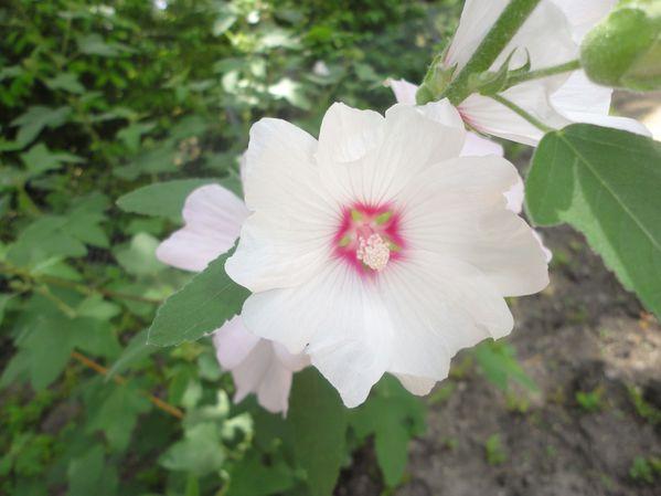 Fleurs à Renazé (3)