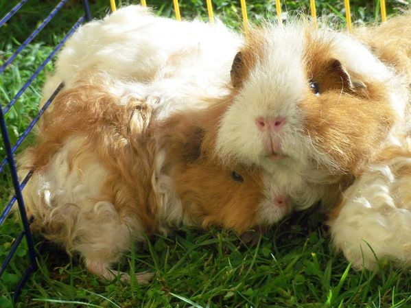 cobayes- photo Estelle s Cavies