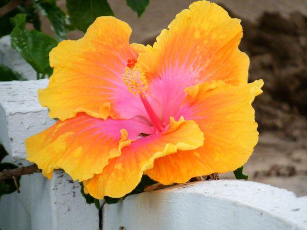 fleur jaune à Windhoek (Namibie)