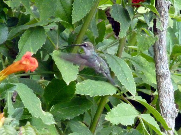 P1070337b colibri
