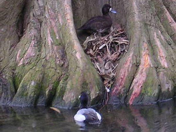 fuligule milouinan couple au nid
