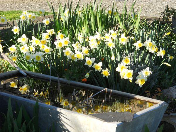 Jonquilles Jardin Gites les Vaquans Aveyron 001