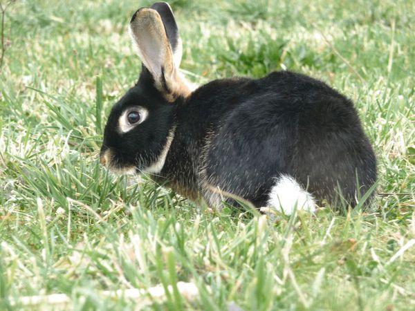 lapin chèvre 0- lapin-chèvre photo-élevage Christophe Pa