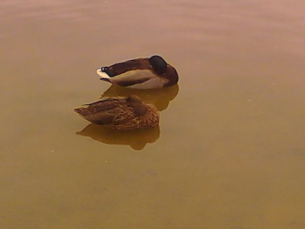 canards-lac-ty colo-saint renan