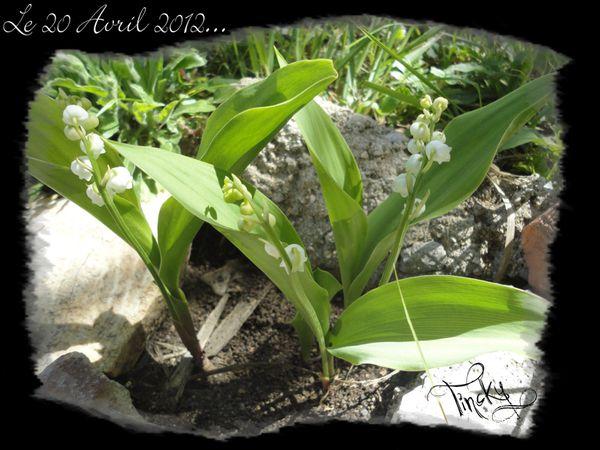 Copie-de-Glycine-LILAS-MUGUETS-PLANTS-DE-TOMATE-Rainette.et.jpg