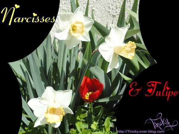 2013-.-Avril-le-10-.-Les-Narcisses-et-la-Tulipe--copie-6.jpg