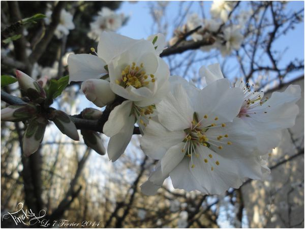 Fleurs-d-Amandier-le-7-Fevrier-2014-151.jpg