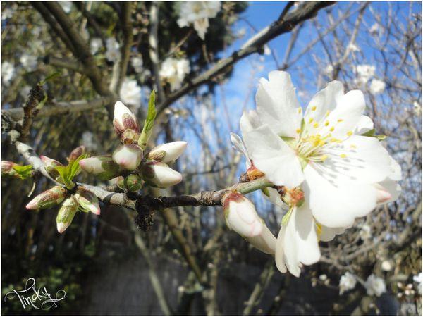 Fleurs-de-l-Amandier-le-4-Fevrier-2014-110.jpg