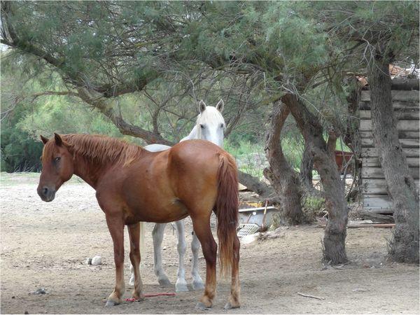 chevaux-camrgue.jpg