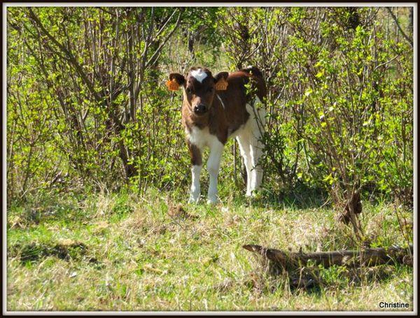 veau breton pie rouge type ancien photo C.GANET
