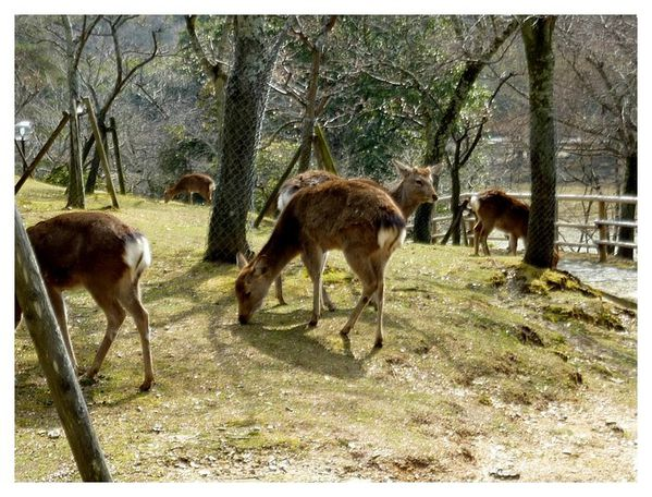 cerf sika (9)