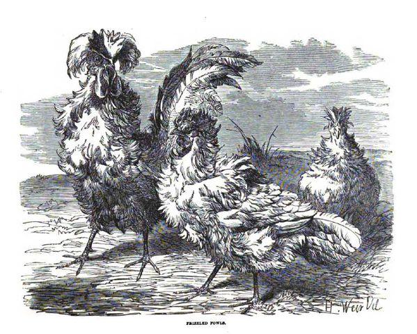 parquet frisés 1867