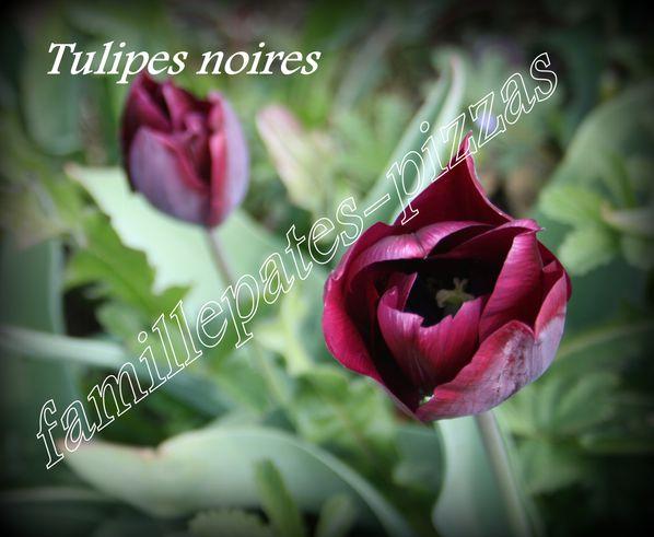 tulipes noires 2