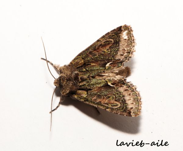 allophyes-oxycanthae 2409cc